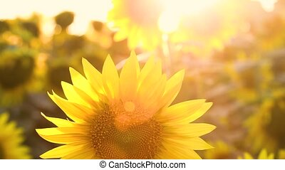 поле, blossoming, sunflowers, sunset.