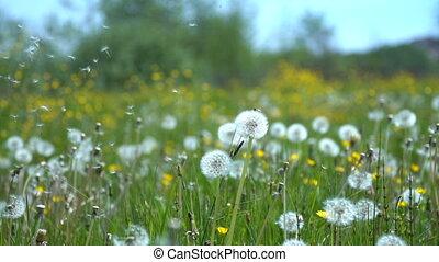 поле, dandelions, луг
