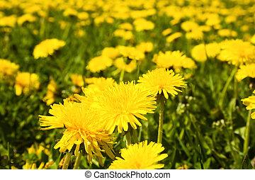 поле, dandelions