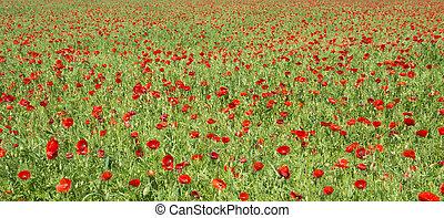 поле, poppies