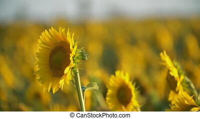 поле, sunflowers, blooming