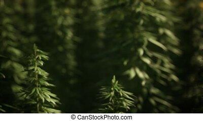 Футаж марихуана поле конопли в омске