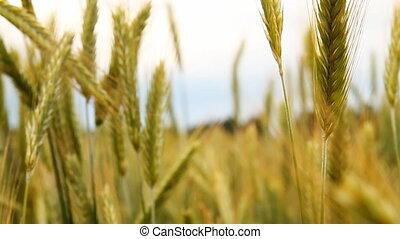 ползунок, пшеница, поле