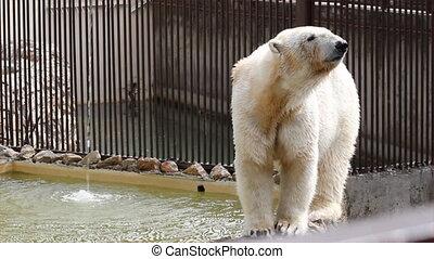 полярный, белый, медведь