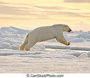 полярный, снег, медведь, leaping