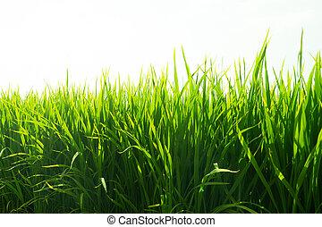 поля, рис, пэдди