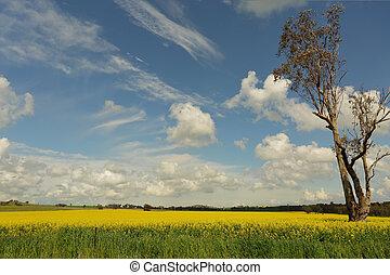 поля, of, золотой, канолы, цветение, в, , весна