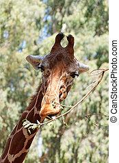 портрет, of, , жирафа
