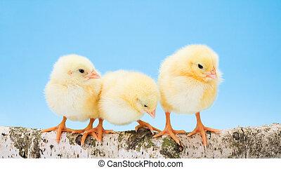 постоянный, деревянный, chickens, три, желтый, новорожденный, филиал