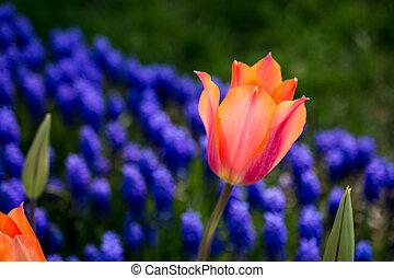 природа, весна, тюльпан, оранжевый