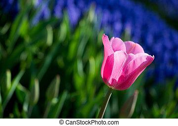 природа, весна, тюльпан, розовый