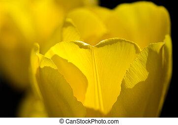 природа, весна, тюльпан, abstract:, закрыть, деликатный, petals, желтый, смотреть