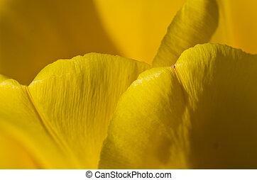 природа, золотой, тюльпан, abstract:, enveloped, petals, желтый, складки