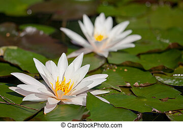 пруд, водяная лилия