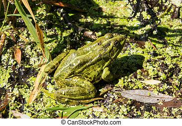 пруд, зеленый, лягушка