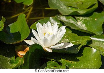 пруд, плавающий, водяная лилия