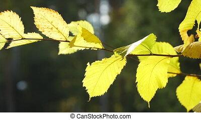 прут, желтый, leaves