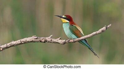 прут, bee-eater, посадка, летающий, вниз, европейская