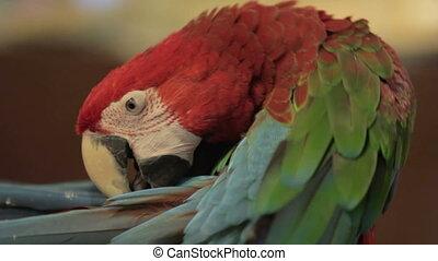 птица, попугай