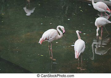 птица, тип, wading, фламинго