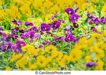 пурпурный, анютины глазки, цветы