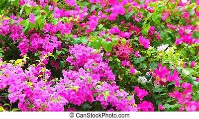 пурпурный, бугенвиль, цветок