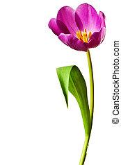 пурпурный, весна, tulips