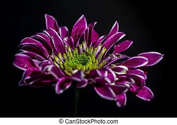 пурпурный, макрос, цветок, выстрел