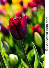 пурпурный, природа, весна, тюльпан