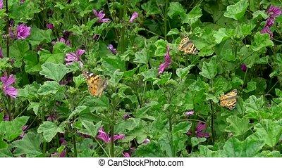 пурпурный, butterflies, цветы