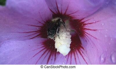 пурпурный, flower., пчела