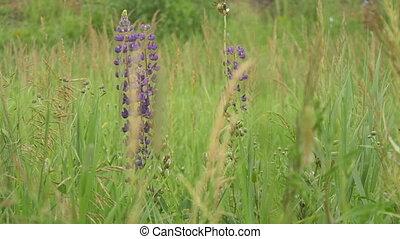 пурпурный, lupines, fields., blooms