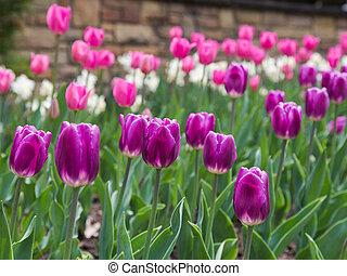 пурпурный, tulips, весна
