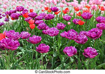 пурпурный, tulips