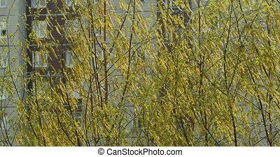 пушистый, дерево, желтый, береза, earrings, цветение