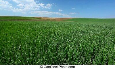 пшеница, поле