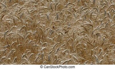 пшеница, растение, сельское хозяйство, поле