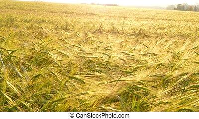 пшеница, созревший, ears
