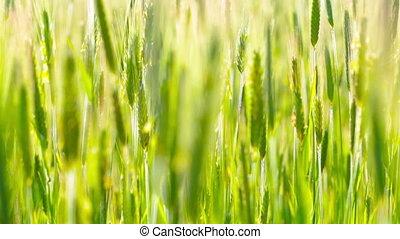 пшеница, ears