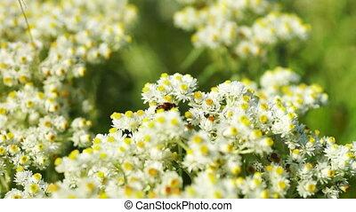 пыльца, сбор, пчела, маргаритка, маленький, цветы