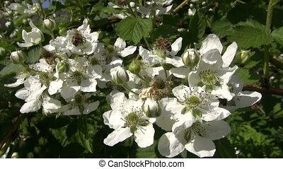 пыльца, picking, bees, ежевика