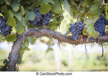 пышный, лоза, виноград, созревший, вино