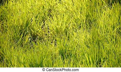 пышный, трава, sun.