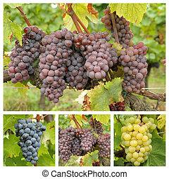 разнообразие, of, гроздь, of, виноград, тоскана