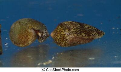 ракушки, аквариум, конус