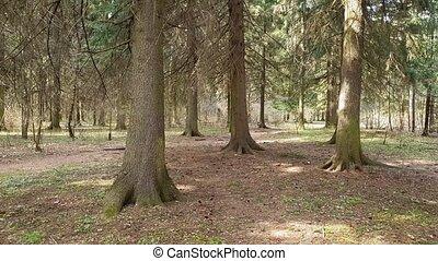 рано, весна, ель, лес, fragments