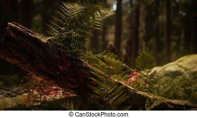 рано, sequoias, солнечный лучик, лесок, mariposa, утро