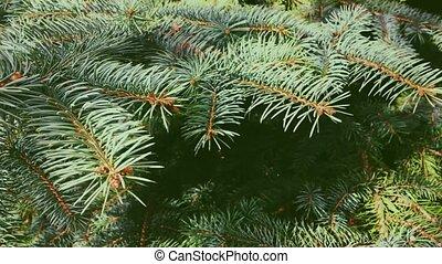 растение, дерево, ель, день отдыха, рождество, вечнозеленый, крупный план, задний план, природа, филиал