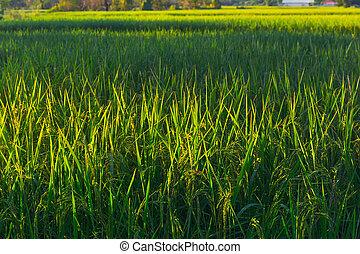 растение, рис, зеленый