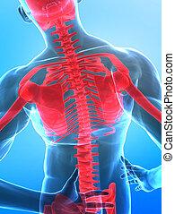 рентгеновский, позвоночник, человек
